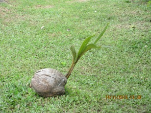 The start of a new coconut tree